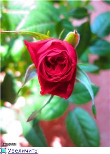 Розы в комнатной культуре - Страница 8 D0c728c8397at