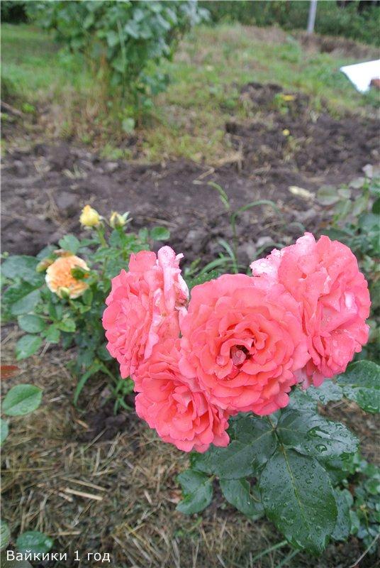 Розы-2013 84b80ee67ab8