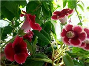 Садовые многолетние цветы - давайте меняться - Страница 3 40952e065718t