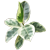 ТУТОВЫЕ (фикус, инжир)
