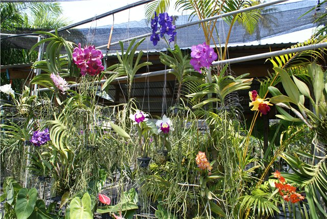 Орхидеи и прочая красота на о. Пхукет - Страница 19 2ce21d594709