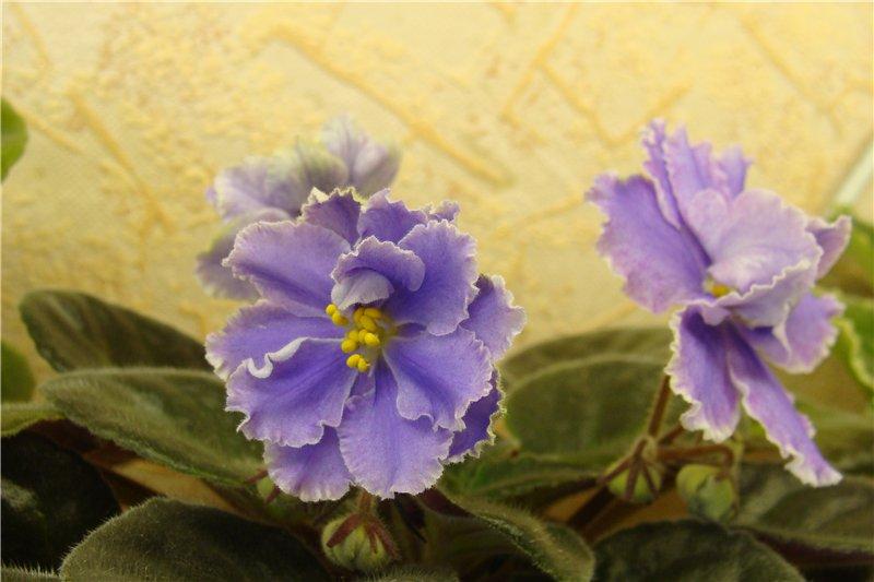 Весеннее  цветение (Хваст от Веры) - Страница 8 De3d5246deec