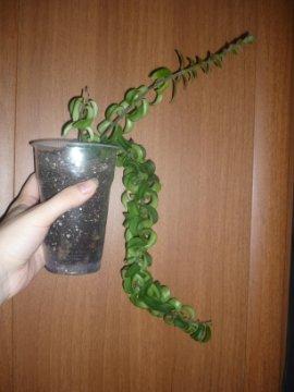 декоротивно-лиственные и красивоцветущие растения - Страница 3 6fe98d048a2d