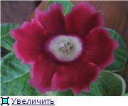 Семена глоксиний и стрептокарпусов почтой - Страница 7 9cdbf22fd594t