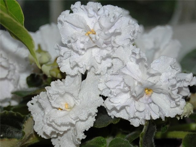 Растения Татьяны Малыгиной-фиалки, адешки, хойи, орхи... B5d5536cc8ad