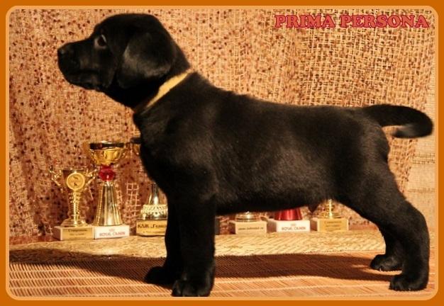 """Питомник """"Прима Персона"""". Мои собаки-моя жизнь! 0f608091c509"""
