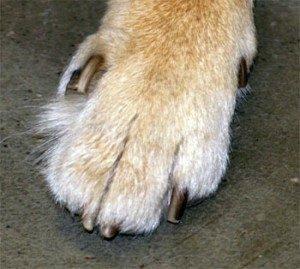 Короткий палец - генетическая проблема сиба-ину 0df46c940b17