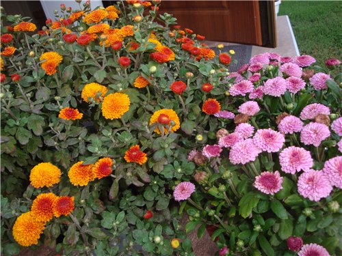 Які квіти прикрашають Ваші ґанки, підвіконня, балкони? 11f95db55b0d
