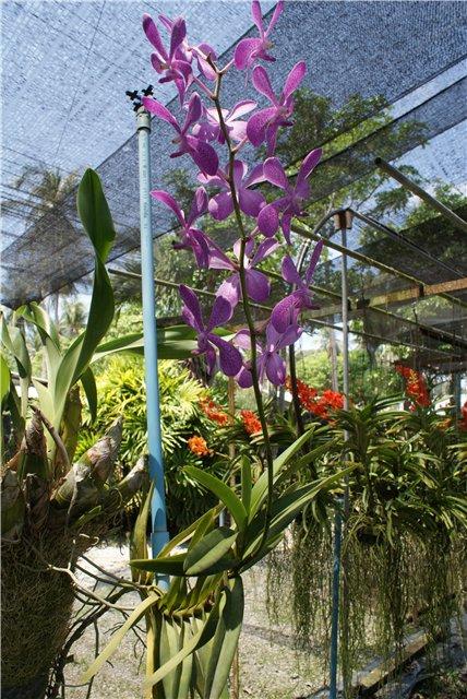 Орхидеи и прочая красота на о. Пхукет - Страница 19 F1806b37ec4f