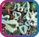 продам семена экзотических растений - Страница 3 C6bd8b210514