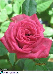 Розы в комнатной культуре - Страница 4 92b94c2de530t