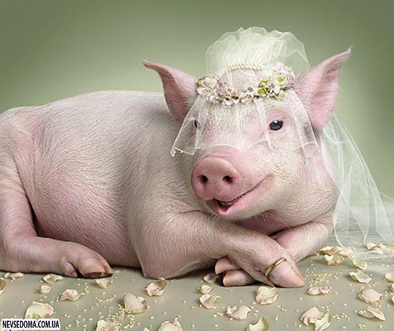 Миниатюрные свинки) - Страница 2 48948acadd44
