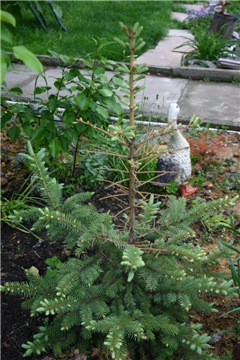 Хвойные растения и вересковые в садовом дизайне. - Страница 40 9d6f859ffeb0t