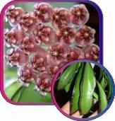 декоротивно-лиственные и красивоцветущие растения - Страница 4 Daf083db4f14