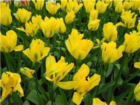 Рай тюльпанов или Кёкнхов - 2012 4ed956c88e7ft