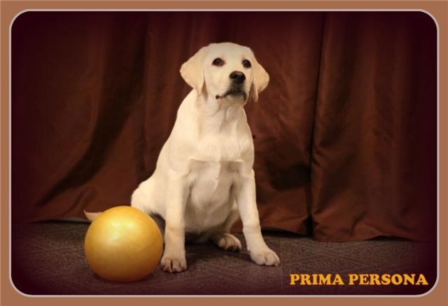 """Питомник """"Прима Персона"""". Мои собаки-моя жизнь! 554a630f12b9"""