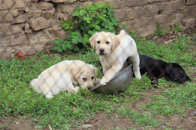 """Питомник """"Прима Персона"""". Мои собаки-моя жизнь! - Страница 2 900d06d6add9"""