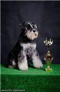 Цвергшнауцера щенки, окрас черный с серебром 90d7aa284dc0t