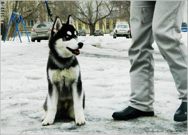 Siberian huskies in Russia. 02d2063ff2e2