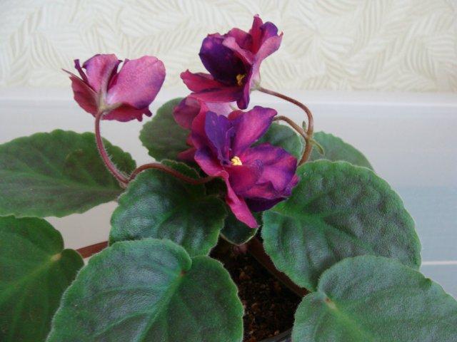 Мои цветочки - Страница 39 319cf3b3ae44