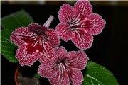 Семена глоксиний и стрептокарпусов продам 416d0afddd2ft