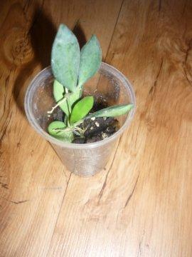 декоротивно-лиственные и красивоцветущие растения - Страница 3 97d705806477