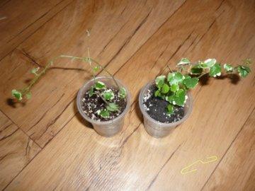 декоротивно-лиственные и красивоцветущие растения - Страница 4 Da6a457d678a