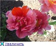 Тюльпаны - Страница 2 210a618df2d7t