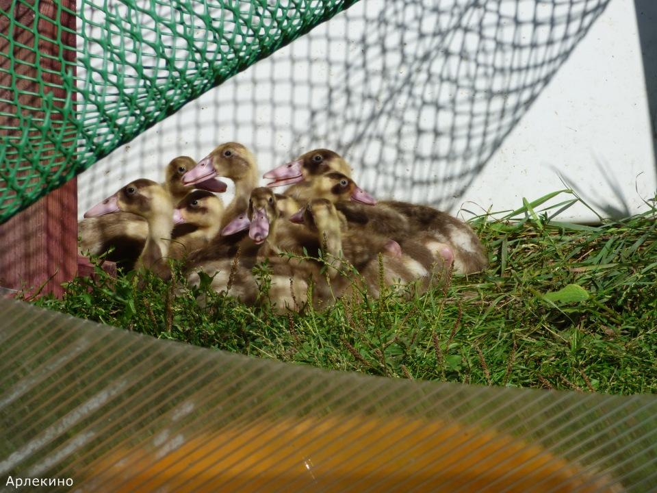 Продажа инкубационного яйца породных кур: Бресс Гальская, Ред Айленд, Карликовый Легорн, Фокси Чик F46adb6e72ac