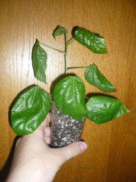 декоротивно-лиственные и красивоцветущие растения - Страница 4 9b9e98ddb052