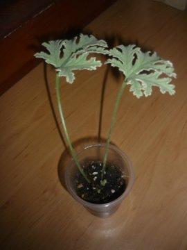 декоротивно-лиственные и красивоцветущие растения - Страница 4 7551872e1a39