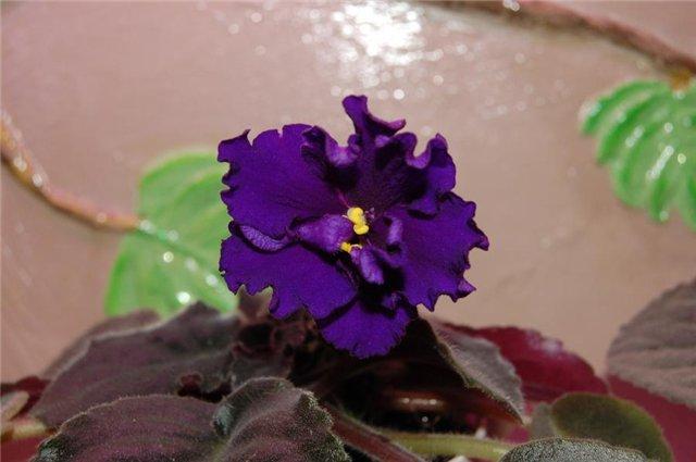 Растения Татьяны Малыгиной-фиалки, адешки, хойи, орхи... 18090194930d