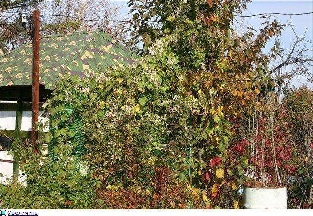 Цветущие лианы E36974573c6at
