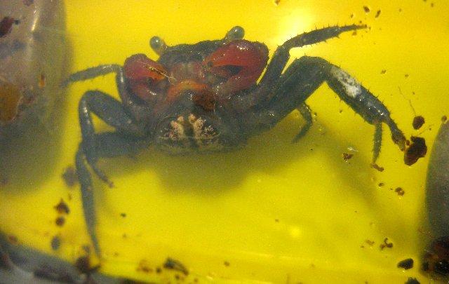 Geosesarma Sp Red Devil, нужна помощь 67ec7854d533