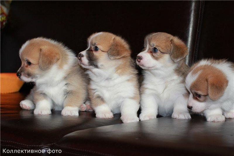 Очаровательные щенки вельш корги пемброк (Россия, Новосибирск) 564e0ef0d37d