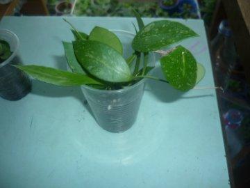декоротивно-лиственные и красивоцветущие растения - Страница 3 095a0b514a1a