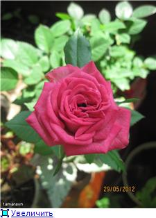 Розы в комнатной культуре - Страница 4 Cd8f119ef94ct