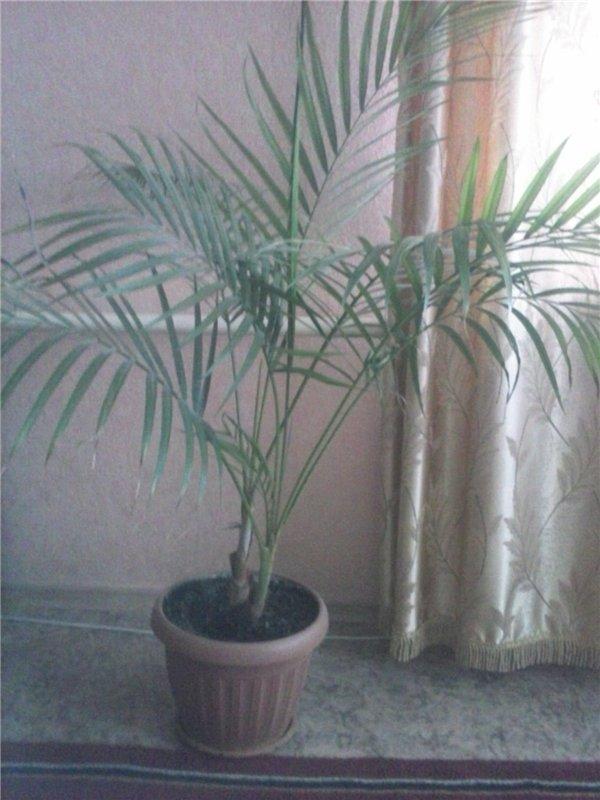 Продают комнатные растения в Астане,срочно! 3607778bc8d4