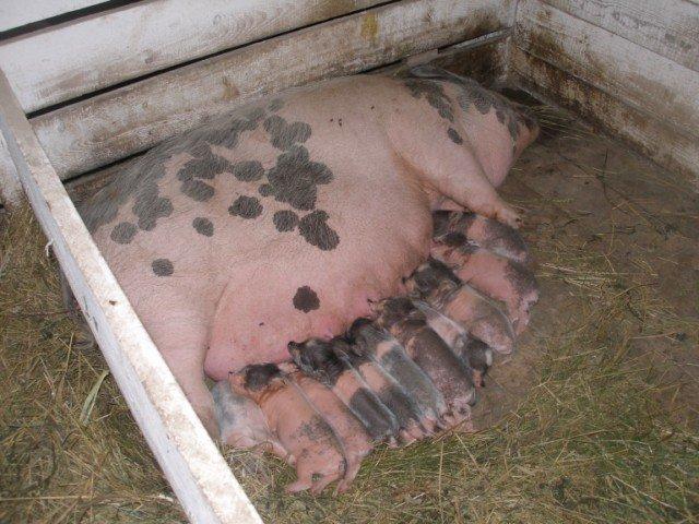 В'єтнамські вислобрюхие свині 38ee62a34f64