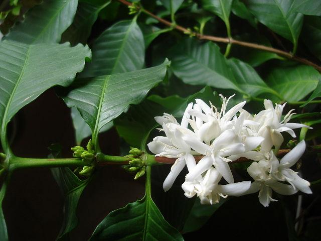 Кофейное дерево - Страница 6 24d18d183b1c