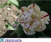 Тюльпаны - Страница 2 797f2de20c8bt