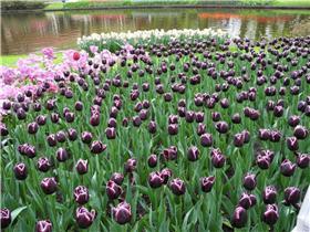 Рай тюльпанов или Кёкнхов - 2012 9608fa8994c3t