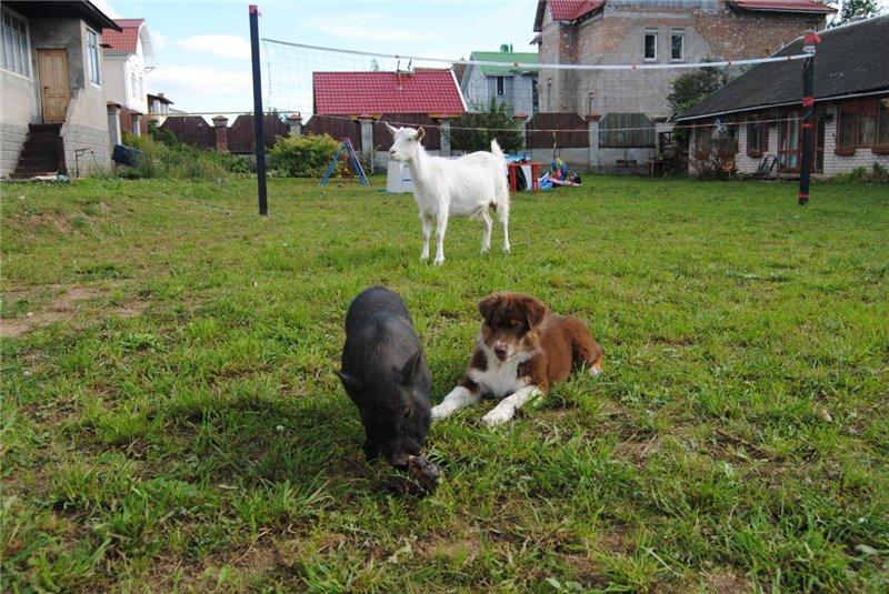Мои аусси - Зефир и Мисси.....и немного их тусовки - джек рассел, хаски, маламут и акита... 3a205d19a06b