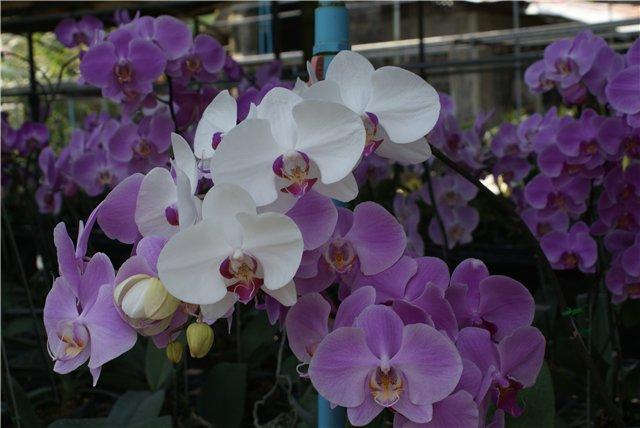 Орхидеи и прочая красота на о. Пхукет - Страница 19 9af247b5bd0d