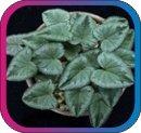 продам семена экзотических растений - Страница 3 6df61af6aa09