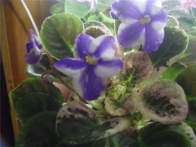 Little Misty Blue (P. Sorano) 3b9f8125c9ec