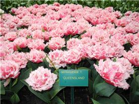 Рай тюльпанов или Кёкнхов - 2012 E17760942947t