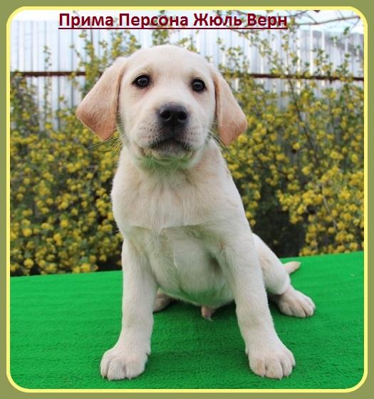 """Питомник """"Прима Персона"""". Мои собаки-моя жизнь! - Страница 2 A5d399399b70"""
