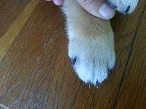 Короткий палец - генетическая проблема сиба-ину 4e6e9d31e0bb