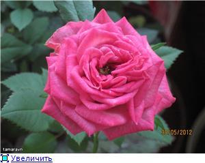 Розы в комнатной культуре - Страница 4 215293cbbce1t